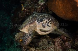 Turtle-7
