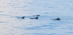 A pod of pilot whales cruise by.
