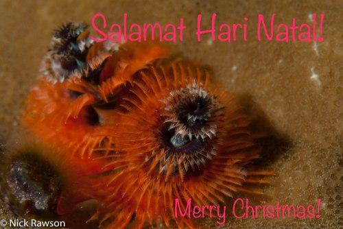 christmas-tree-worm